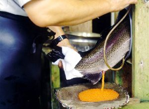 虹鱒採卵sairan